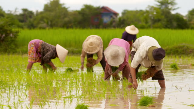 cu tu farmers planting rice in flooded rice field in puok area / siem reap, siem reap province, cambodia - rice paddy stock videos and b-roll footage