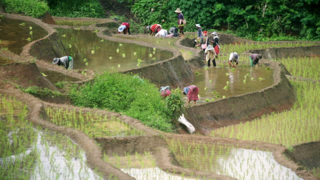 Farmers planting rice in terraced rice paddy field, Chiangmai Thailand