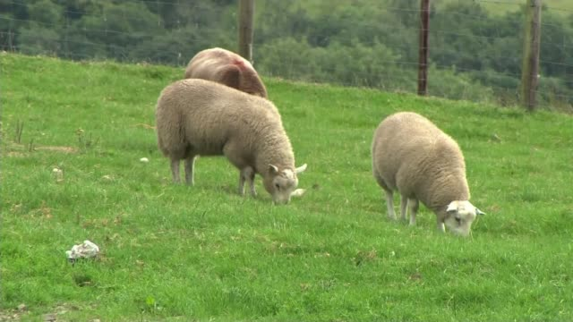 farmers resort to medieval methods after surge in rural crime wales carmarthenshire llangadog ext various of sheep in field view down into fields... - wales stock videos & royalty-free footage
