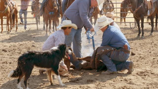 Landwirte, die Rinder für das Branding Abseilen