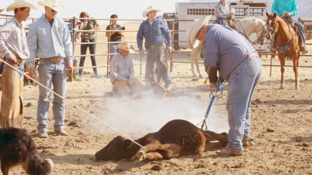 farmers roping cattle for branding - calf stock videos and b-roll footage