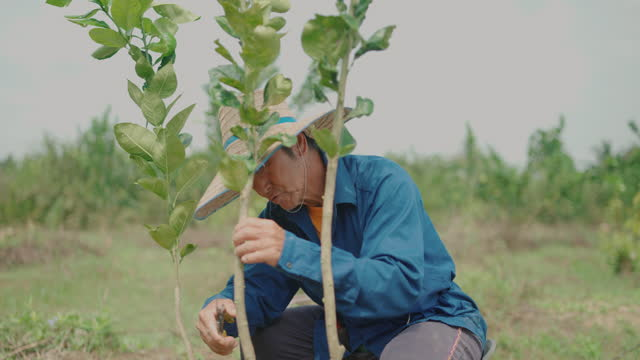 farmers starting graft bandaging or striping on plant - branch plant part stock videos & royalty-free footage