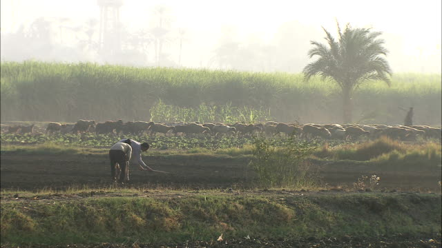 vídeos y material grabado en eventos de stock de farmers use hoes to cultivate a field as a herd of goats passes by. - un animal