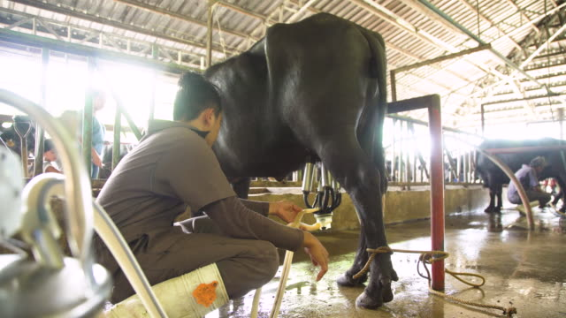 farmers using milking machine on a water buffalos. ubay dairy farm, bohol, philippines - 牧畜場点の映像素材/bロール