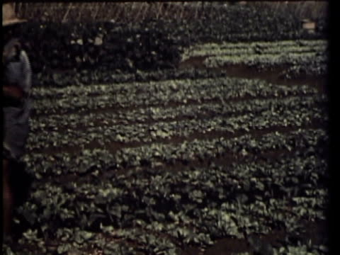 1958 MS WS PAN MONTAGE Farmers watering and working with hoe in field / Calobre, Panama / AUDIO