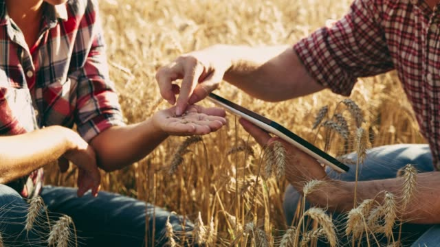 farmers with digital tablet examining wheat in field,slow motion - quality control stock videos & royalty-free footage