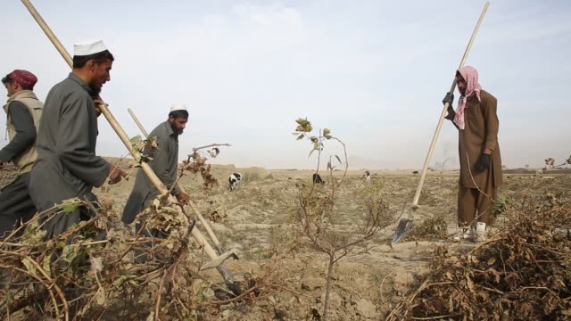 Farmers work digging up their grape fields after the harvest in the Deh Sabz district of Kabul Province Afghanistan on November 1st 2015 A year after...