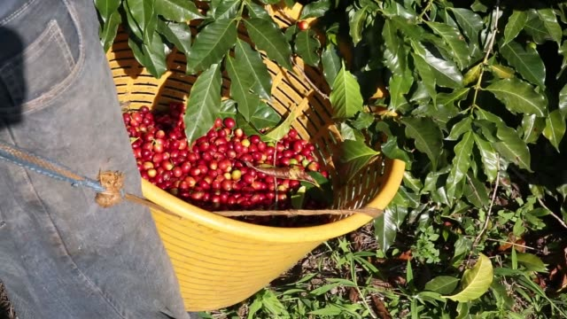 farmers work during coffee harvest on the slopes of the agua volcano near san miguel escobar, guatemala on dec. 17, 2015 photographer nadia sussman/... - agua点の映像素材/bロール