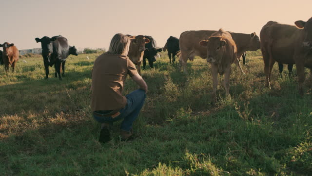 a farmer's work is never done - cattle stock videos & royalty-free footage