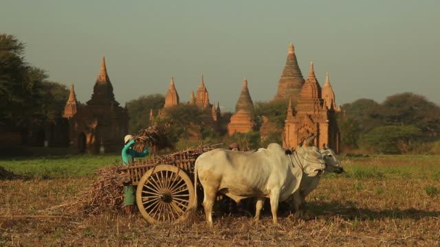 ws farmers working in field with cattle / bagan, myanmar - myanmar stock videos & royalty-free footage