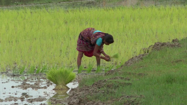 farmers working in paddy fields in guwahati assam india - cereal plant stock videos & royalty-free footage