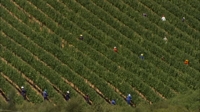 farmhands harvest grapes from a vineyard. available in hd - farm worker stock videos and b-roll footage