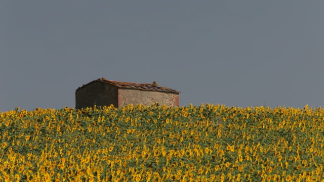 vídeos y material grabado en eventos de stock de ws farmhouse surrounded by field of sunflowers / tuscany, italy - toscana