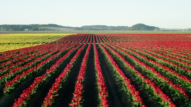 farming in the skagit valley, washington state - チューリップ点の映像素材/bロール