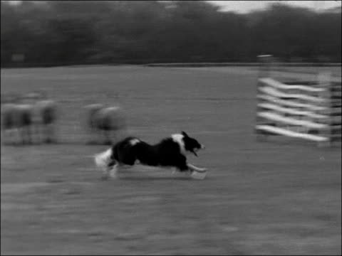 vídeos de stock, filmes e b-roll de international sheepdog trials england london hyde park lv dog rounding up sheep in park as farmer watches lv dogs and owners cu 2 dogs watching ms... - cão pastor