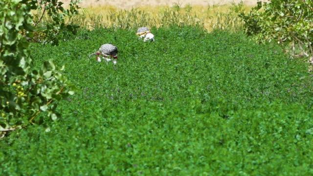 farming pistachio nuts - pistachio nut stock videos & royalty-free footage