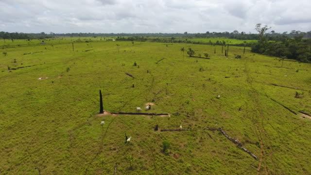 farmland with burned dead trees, green grass, and thin cows in pando, bolivia - växtätare bildbanksvideor och videomaterial från bakom kulisserna