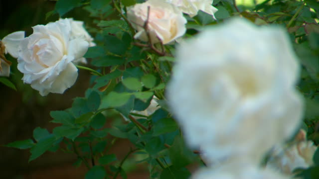 various shots of white/peach rose bush in full bloom