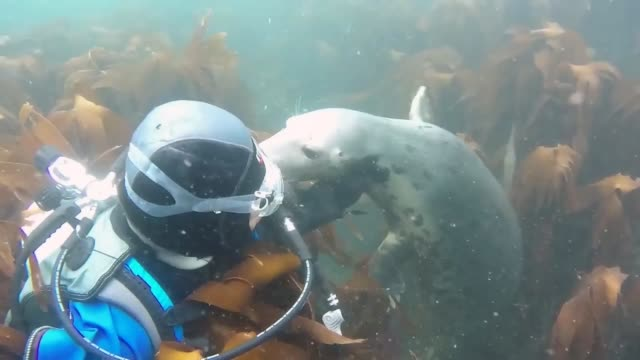 farne island divers are worked by a devoted team of professionally and experienced jumpers with broad information of making a plunge and around the... - sea lion stock videos & royalty-free footage