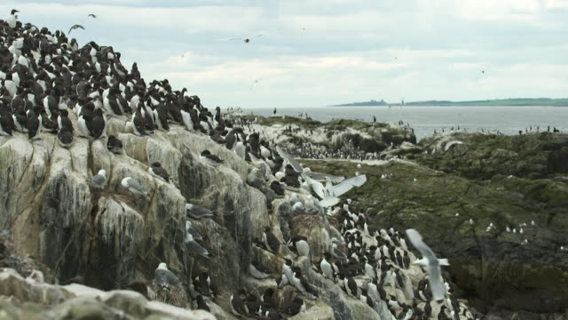 farnes islands super slow-motion with bamburg castle in background. - farne islands stock videos & royalty-free footage