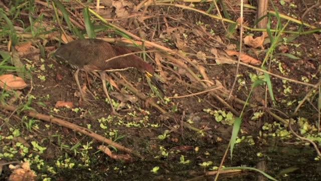 ms ha fasciated tiger heron (tigrisoma fasciatum) foraging for food along edge of stream in manu national park / peru - riva del fiume video stock e b–roll
