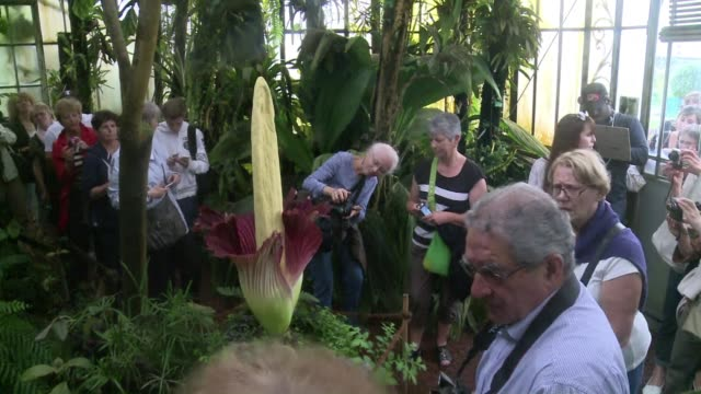 fascinated visitors admire the rare blossoming of an amorphophallus titanum or titan arum known in french as penis de titan - titan moon stock videos & royalty-free footage