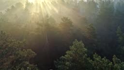 Fast aerial shot of a misty pine forest in the morning. Sun rays coming through trees.