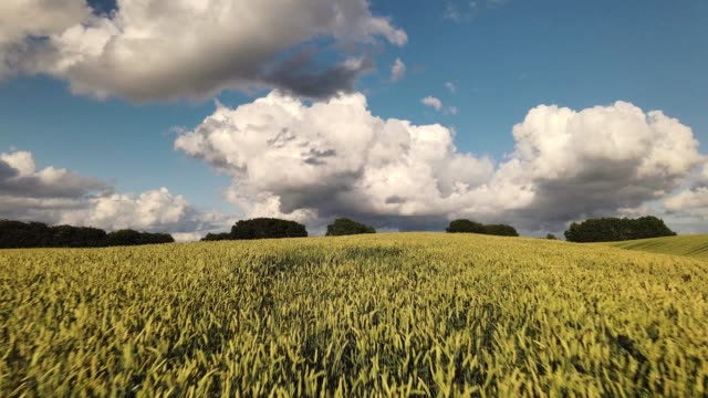 stockvideo's en b-roll-footage met fast drone flight over sunlit wheat fields in summer with blue sky and white clouds - tina terras michael walter
