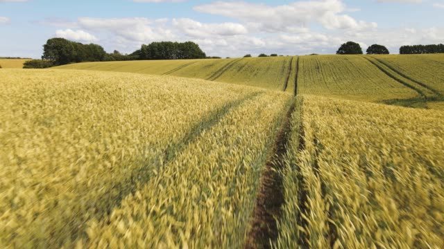 fast drone flight over sunlit wheat fields in summer with blue sky and white clouds - agriculture stock-videos und b-roll-filmmaterial