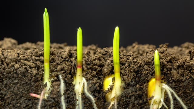 fast growing corn, roots and leaves growing from the earth, time lapse video 4k resolution clip. one axis linear camera motion. - crescita video stock e b–roll