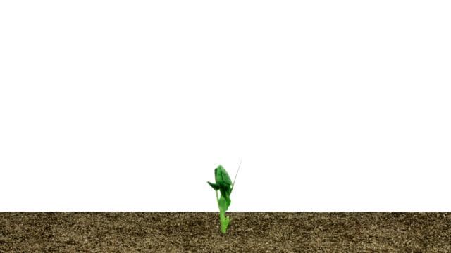 fast sprouting der erbse plant - knospend stock-videos und b-roll-filmmaterial