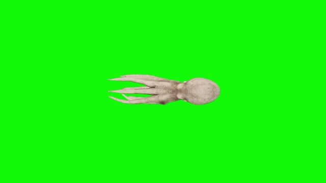 schnell schwimmenden oktopus auf grünem bildschirm. das konzept der tier, tierwelt, spiele, zurück zur schule, 3d-animation, kurzes video, film, cartoon, bio, chroma-schlüssel, charakter-animation, design-element, themen gesetzt, loopable - matrose stock-videos und b-roll-filmmaterial