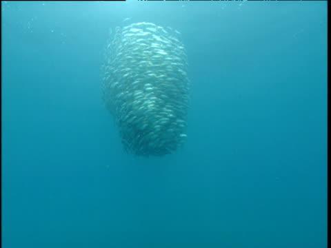fast swirling bait ball, panama - bait ball stock videos & royalty-free footage