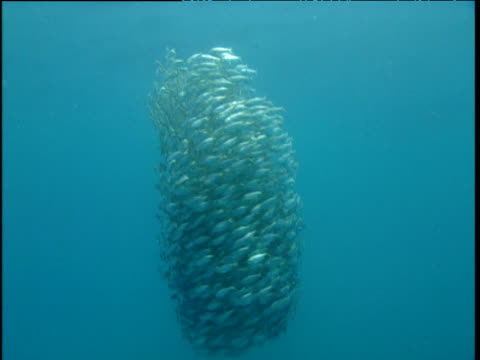 fast swirling bait ball surrounds camera, panama - bait ball stock videos & royalty-free footage