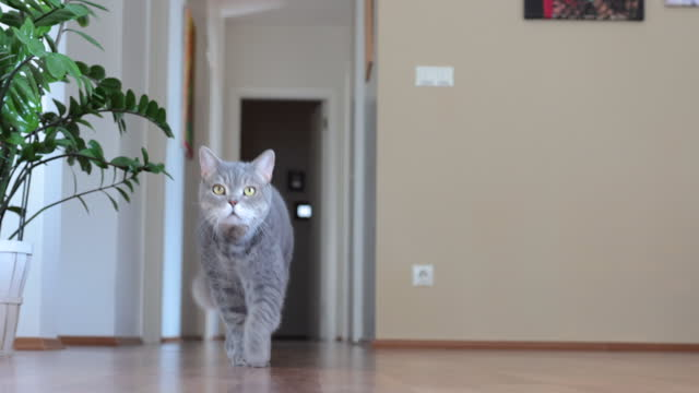 fat british shorthair cat walking slowly around in the house - pet owner stock videos & royalty-free footage