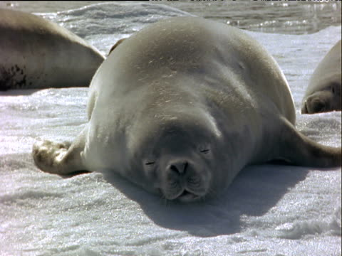 fat crabeater seal asleep on floating ice block, snoring as one nostril flares in and out - animal hair点の映像素材/bロール