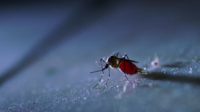 fat mosquito on floor - mosquito stock videos & royalty-free footage