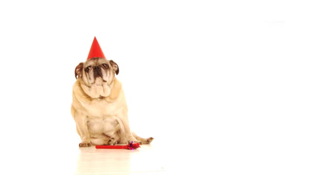 fat party dog - pet clothing stock videos & royalty-free footage