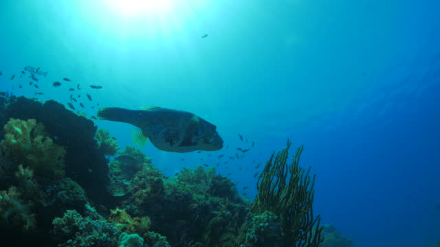 fat puffer fish swimming undersea - balloonfish stock videos and b-roll footage
