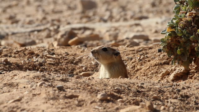 fat sand rat (Psammomys obesus) looking out of burrow