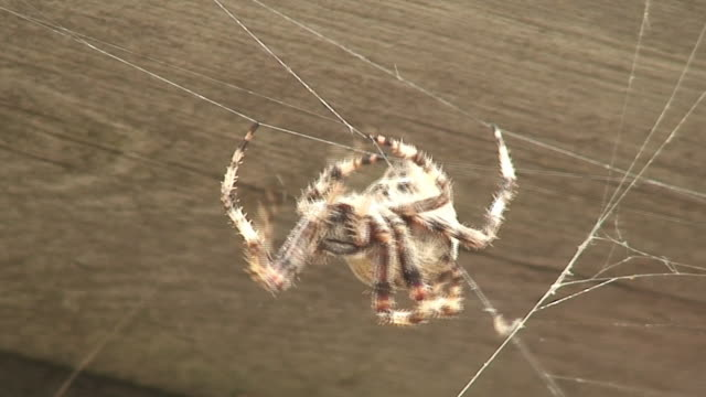 fat spider - arachnophobia stock videos & royalty-free footage