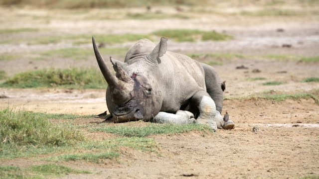 fatal injuries white rhino with birds - very tired - wildlife reserve stock videos & royalty-free footage