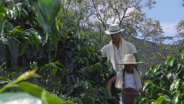vídeos de stock e filmes b-roll de father and daughter walking through a coffee crop looking for coffee beans - coleção