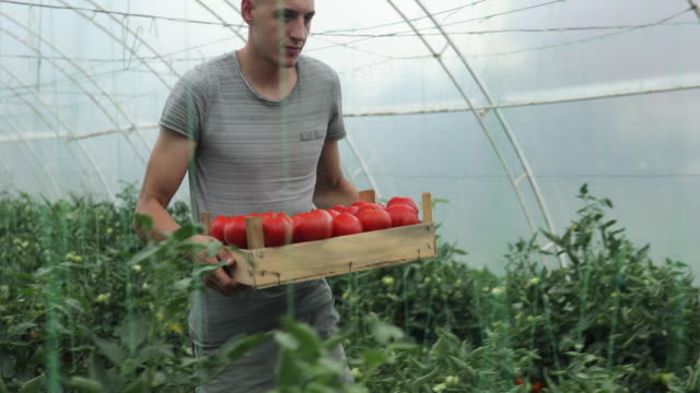 father and son love harvesting tomatoes - crate stock videos & royalty-free footage