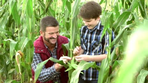 vídeos y material grabado en eventos de stock de padre e hijo en la granja de la familia, inspección de maíz en campo - maíz zea