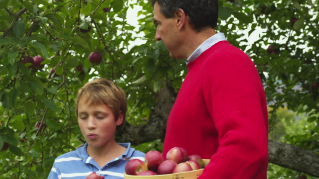 vídeos y material grabado en eventos de stock de ms pan father and son (10-11) picking apples in orchard, manchester, vermont, usa - picking up