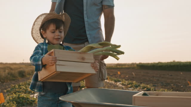 vídeos de stock e filmes b-roll de slo mo father and son picking vegetables in the field. the son carries a crate full of vegetables to the wheelbarrow - 4 5 anos