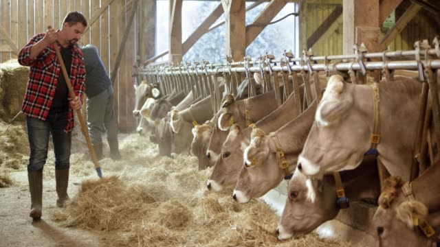 father and son pitching hay to the cattle in the barn - produttore video stock e b–roll