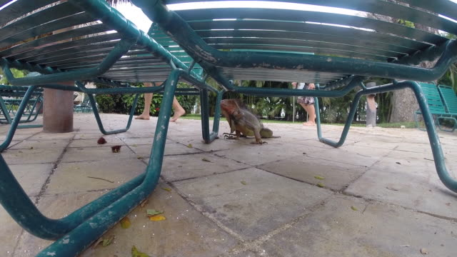 vídeos y material grabado en eventos de stock de father and son see giant iguana under lawnchair. - kelly mason videos