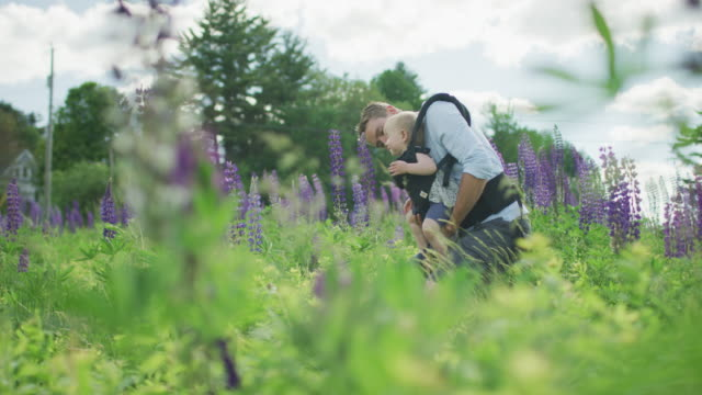 a father carrying his infant daughter on a walk through a field of lupine - baby carrier stock videos & royalty-free footage